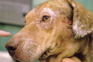 Leishmaniasis canina Clínica Veterinari en Sant Vicenç dels Horts